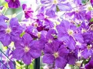 Почему не цветет клематис