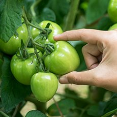 Как хранить зеленые помидоры, чтобы они покраснели