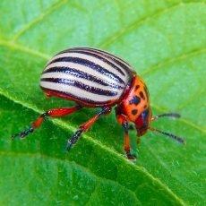 Как избавиться от колорадского жука на картошке навсегда народными и химическими средствами