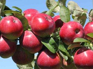 Яблоня «Анис свердловский»: описание сорта, фото и отзывы