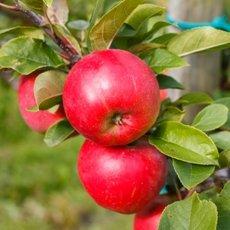 Яблоня «Антей»: описание сорта, фото и отзывы