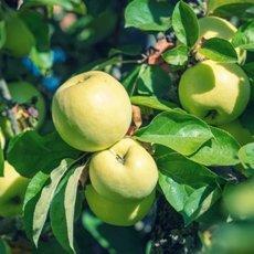 Яблоня «Антоновка»: описание сорта, фото и отзывы