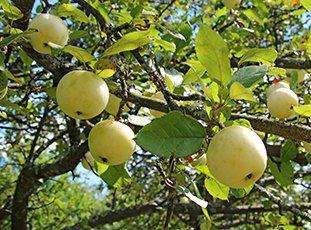 Яблоня «Белый налив»: описание сорта, фото и отзывы