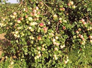 Яблоня «Имрус»: описание сорта, фото и отзывы