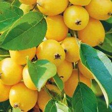 Яблоня «Китайка золотая»: описание сорта, фото и отзывы