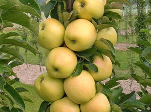 Яблоня колонновидная «Медок»: описание сорта, фото и отзывы