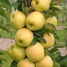Яблоня колоновидная «Медок»: описание сорта, фото и отзывы