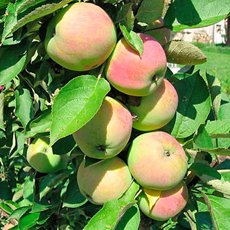 Колоновидная яблоня «Президент»: описание сорта, фото и отзывы
