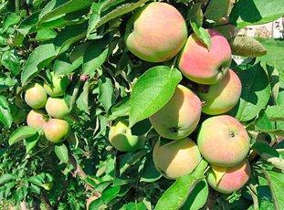 Колонновидная яблоня «Президент»: описание сорта, фото и отзывы