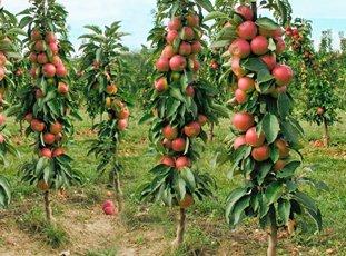 Колонновидная яблоня «Валюта»: описание сорта, фото и отзывы