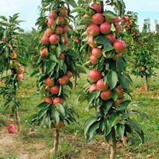 Колоновидная яблоня «Валюта»: описание сорта, фото и отзывы