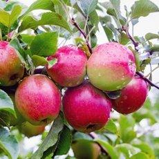 Яблоня «Лигол»: описание сорта, фото и отзывы