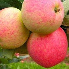 Яблоня «Мечта»: описание сорта, фото и отзывы