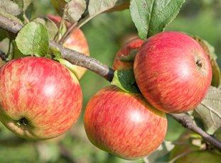 Яблоня «Медуница»: описание сорта, фото и отзывы