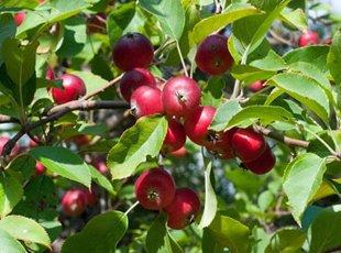 Яблоня «Недзвецкого» – яркое украшение сада