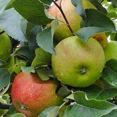 Яблоня «Орлинка»: описание сорта, фото и отзывы