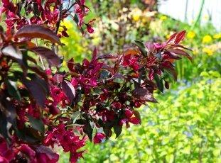 Яблоня «Роялти»: описание сорта, фото и отзывы