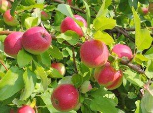 Яблоня «Рождественское»: характеристики сорта и особенности его выращивания