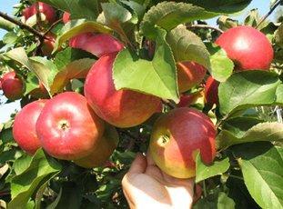 Яблоня «Услада»: описание сорта, фото и отзывы