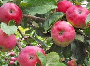 Яблоня «Жигулевское»: описание сорта, фото и отзывы