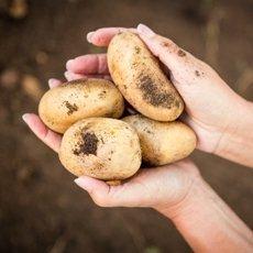 Картофель «Коломбо»: описание сорта, фото и отзывы