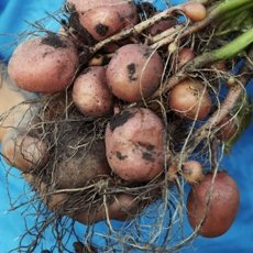 Картофель «Красавчик»: описание сорта, фото и отзывы