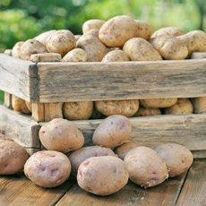 Картофель «Лорх»: описание сорта, фото и отзывы