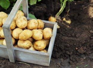 Картофель «Невский»: описание сорта, фото и отзывы