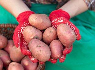 Картофель «Ред Скарлетт»: описание сорта, фото и отзывы