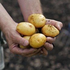 Картофель «Скарб»: описание сорта, фото и отзывы