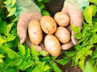 Картофель «Удача»: описание сорта, фото и отзывы