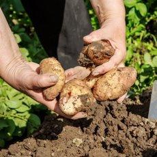Картофель «Жуковский ранний»: описание сорта, фото и отзывы