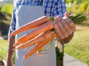 Морковь «Канада F1»: описание гибридного сорта, фото и отзывы