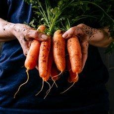 Морковь «Самсон»: описание сорта, фото и отзывы