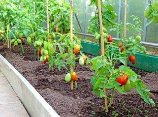 Низкорослые сорта томатов для открытого грунта, теплиц, балкона: особенности