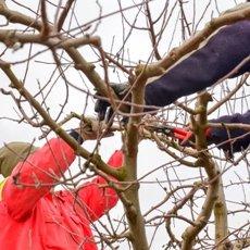 Обрезка яблонь весной