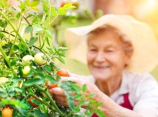 Урожайные сорта томатов для открытого грунта