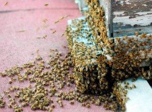 Отводки пчел весной