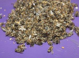 Сколько живут пчелы: о чем необходимо знать каждому пчеловоду