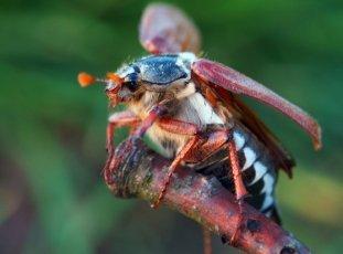 Как избавиться от личинок майского жука в саду и огороде навсегда