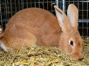 Бургундский кролик – перспективная порода мясного направления