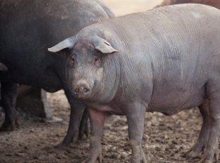 Черные свиньи: описание и характеристики популярных пород