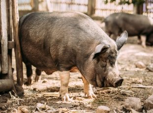 Саркоптоз (чесотка) у свиней