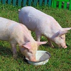 Гельминтозы (глисты) у свиней