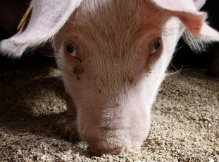 Кормовые добавки для свиней