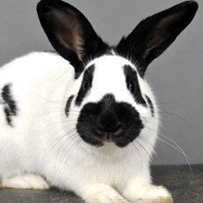 Кролик «Бабочка»