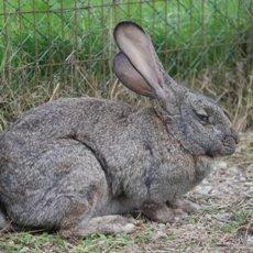 Кролики «Серый великан»: описание породы с фото и видео