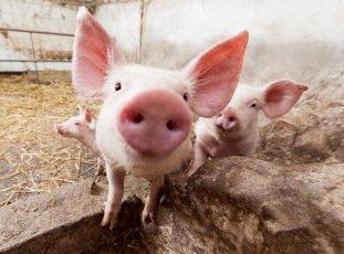 Разведение свиней: советы для начинающих