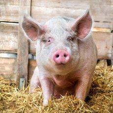 Рожа свиней: характеристика и лечение