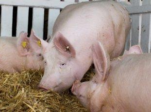 Порода свиней Йоркшир: характеристика, основные преимущества и особенности откорма